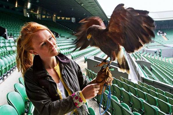 Rufus, the Famous Wimbledon Hawk is Stolen, Then Returned