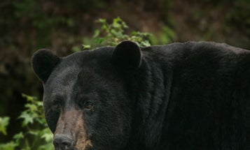Hunter Armed With Knife Survives Black Bear Attack