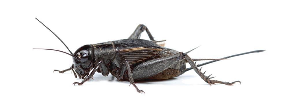 Use a cricket as live bait