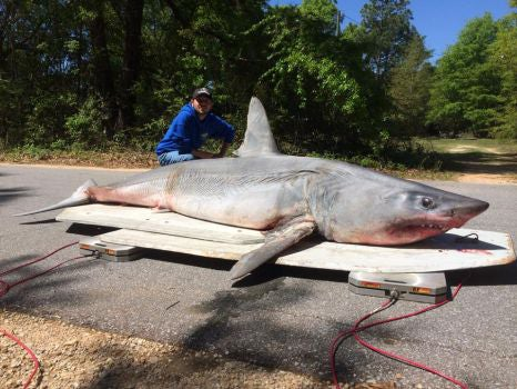 805-Pound Mako Not Eligible for World-Record Status