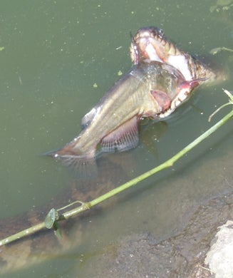 Photos: 5-Foot Water Snake Steals Bullhead From Angler