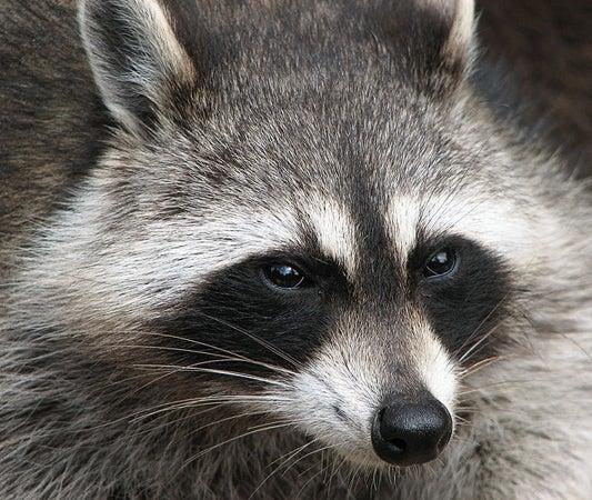 closeup photo of a racoons face