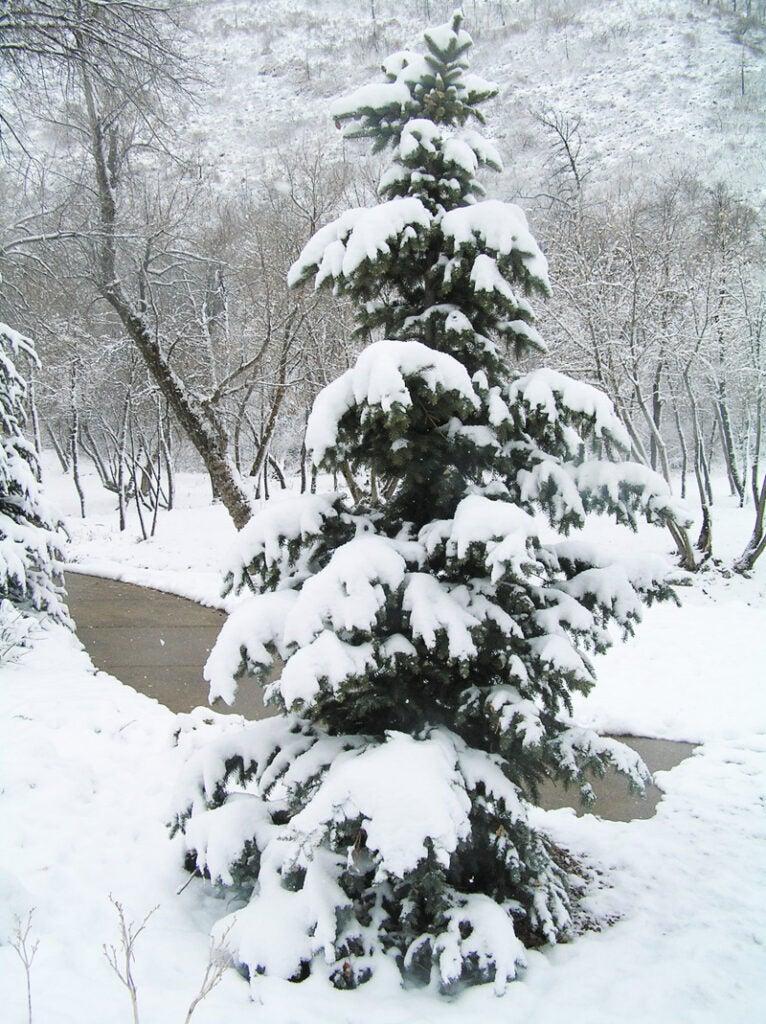 httpswww.outdoorlife.comsitesoutdoorlife.comfilesimport2014importImage2009photo39-Pine_in_snow.jpg