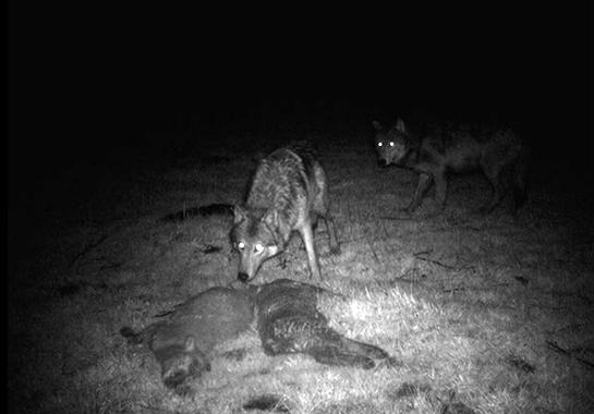 Oregon Ranchers Get the OK to Shoot Problem Wolves Without Permit