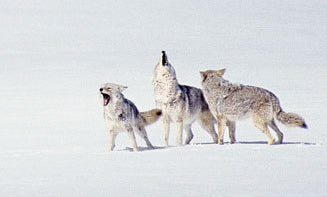 The 8 Coyote Howls & Calling Strategies You Need to Know