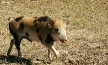 Where to Kill Wild Public-Land Pigs All Across the South