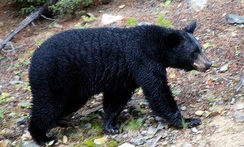 Battle of the New Jersey Black Bears