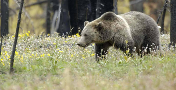 Experts Warn that Grizzly Bear Attacks Will Increase