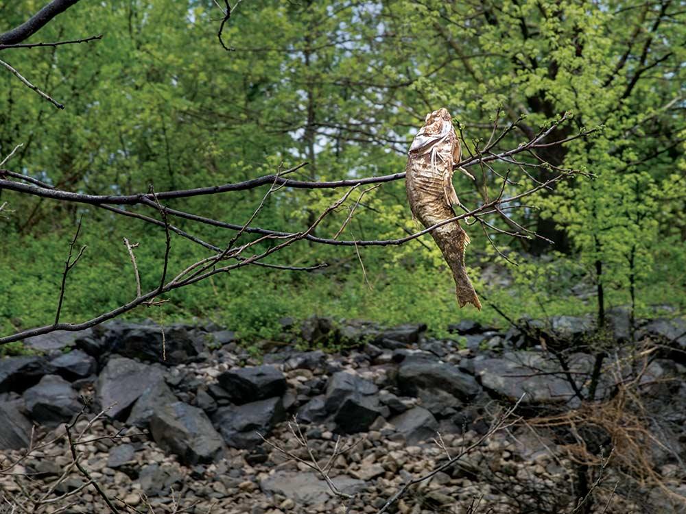 dead asian carp in tree branch
