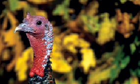 Call in a Fall Gobbler