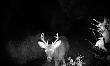 Whitetail Deer: When Should You Check Your Trail Cameras?