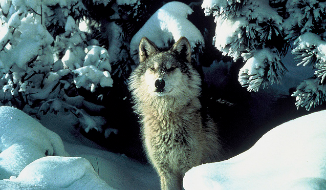 Wolves to Be Delisted as Endangered Species