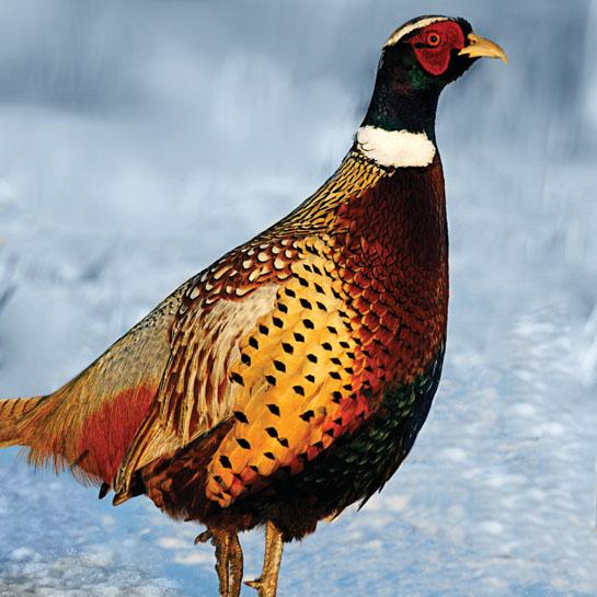 Pheasant Hunting: 6 Ways to Outsmart Late-Fall Roosters