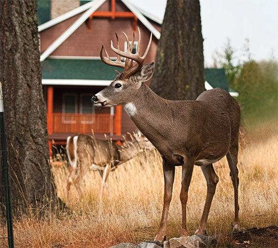 Deer Hunting: Tips for Targeting Backyard Bucks