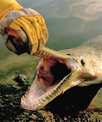 How to Catch Bigger Muskies, Catfish, Bass, Lake Trout, Sturgeon, Stripers and More
