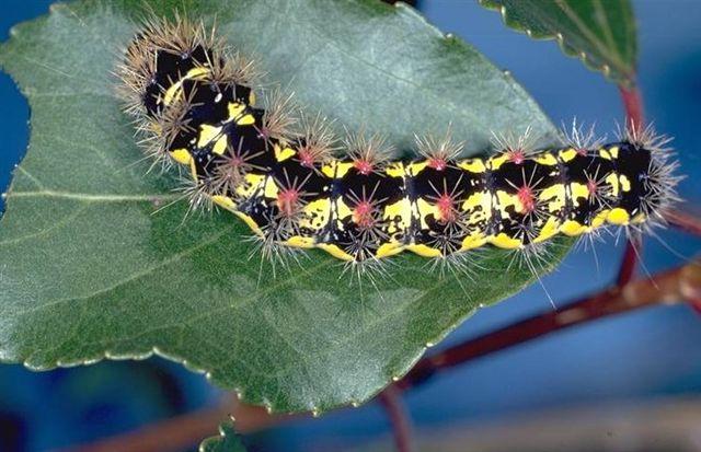 httpswww.outdoorlife.comsitesoutdoorlife.comfilesimport2014importImage2010photo3001029_smeared_dagger_moth_caterpiller.jpg
