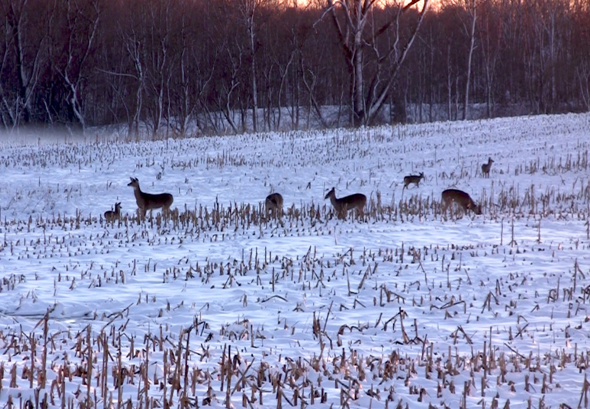 Whitetail Deer: Transitioning Into The Late Season