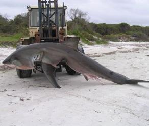 Commercial Fishermen Accidentally Net 13-Foot Shark Near Beach in Australia