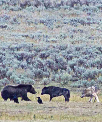 Yellowstone Photos: 5 Grizzlies and 5 Wolves Feed on Bison Carcass