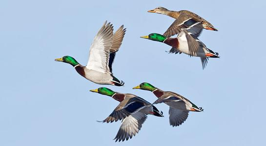 Duck Hunting: Tips for Midday Mallards