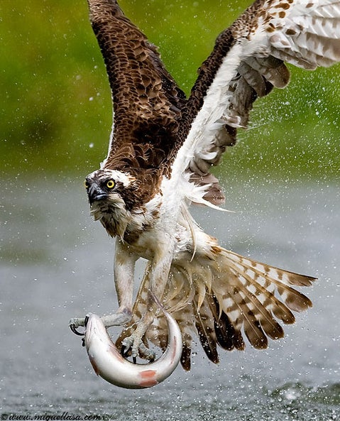 httpswww.outdoorlife.comsitesoutdoorlife.comfilesimport2014importImage2009photo7osprey_8.jpg