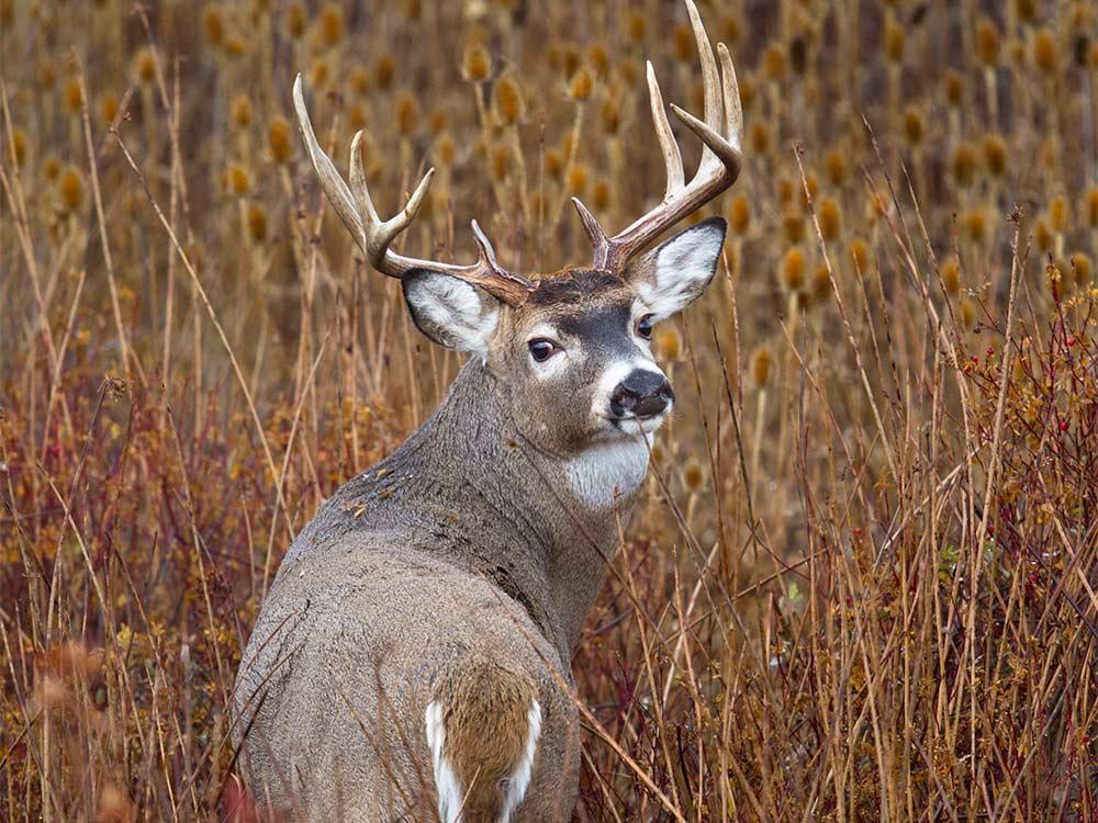 whitetail stud buck shifting