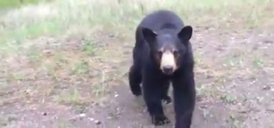 Video: Black Bear Stalks Joggers in Alberta