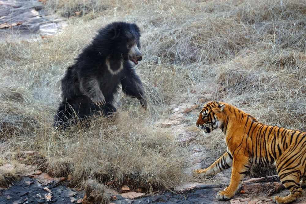 httpswww.outdoorlife.comsitesoutdoorlife.comfilesimport2014importImage2011photo10013215797_6_CATERS_Bear_tiger_07.jpg