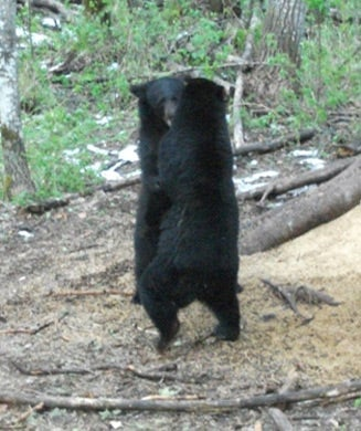Black Bear: The Other Spring Meat