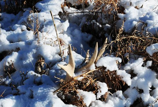 Tips and Tactics for Shed Hunting the West