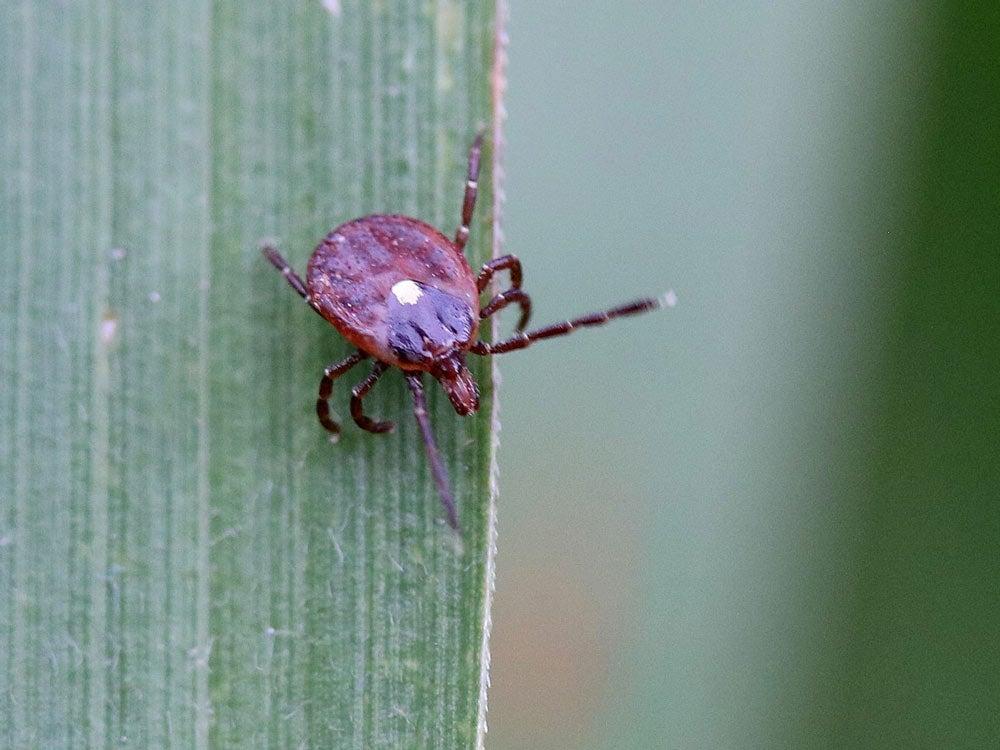 how to identify ticks