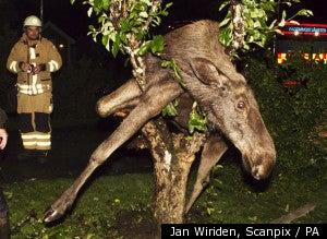 Drunk Moose Gets Stuck in an Apple Tree in Sweden