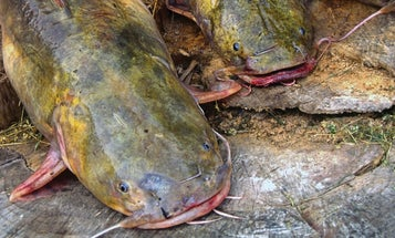 Clonking Cats: How to Call In Catfish