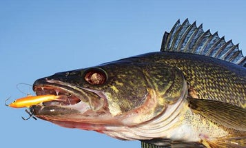 Rapala Jigging Rap: Icefishing Lure Lethal for Open-Water Walleyes