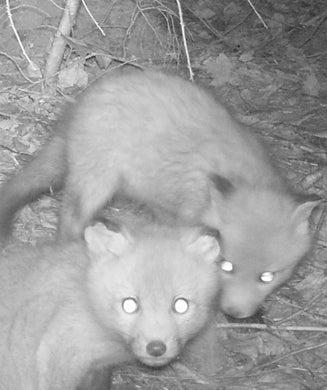 Wildlife Photos: Trail Camera on a Fox Den