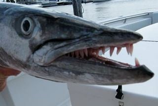 Toothy Terror on the Gulf
