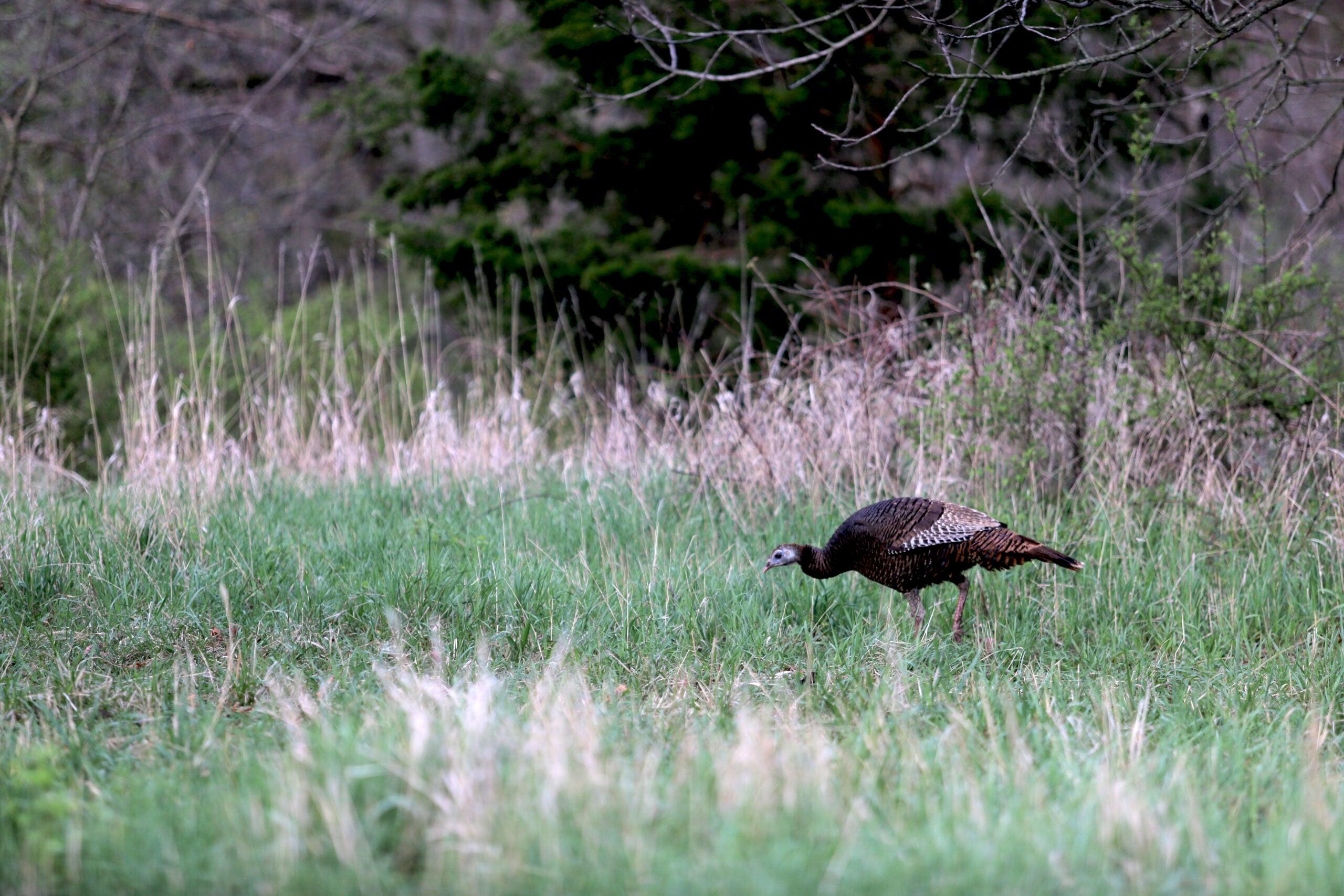 Gobbler Grub: Plant Native Food Sources for Bigger, Healthier Turkeys