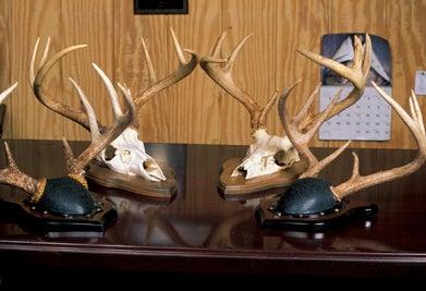 finished skull mounts
