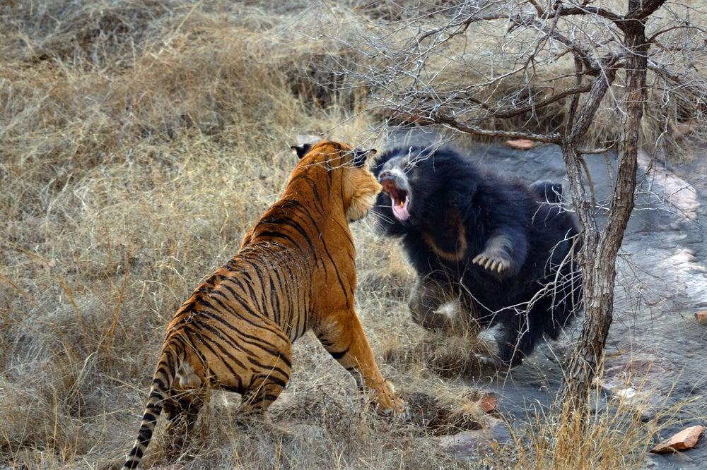 httpswww.outdoorlife.comsitesoutdoorlife.comfilesimport2013images2011109_8_CATERS_Bear_tiger_09_0.jpg