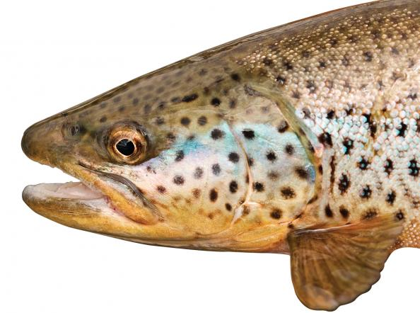 Beat the Heat for Big Summer Brown Trout