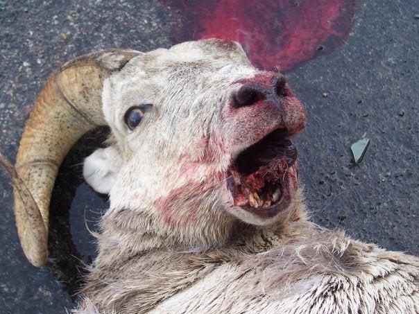 dead bighorn sheep fall