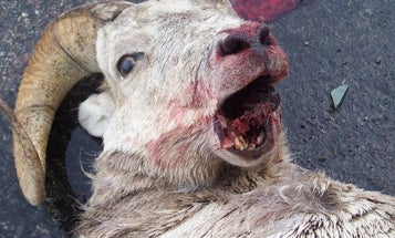Death Dive: Mountain Lion Chases Bighorn Sheep Off Cliff