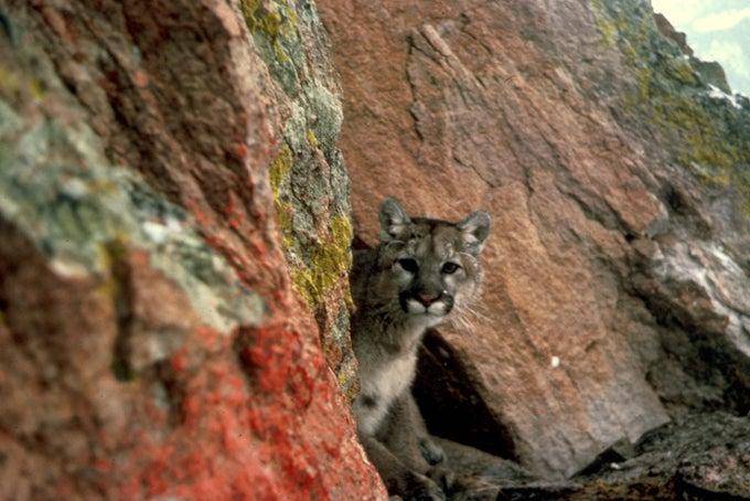 California Plans $10 Million Bridge to Aid Mountain Lion Population