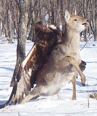 Trail Camera Photos: Golden Eagle Catches Sika Deer in Russia