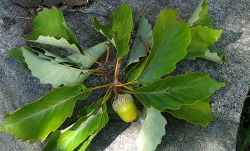 Why You Should Scout for White Oak Acorns Before Deer Season Opens