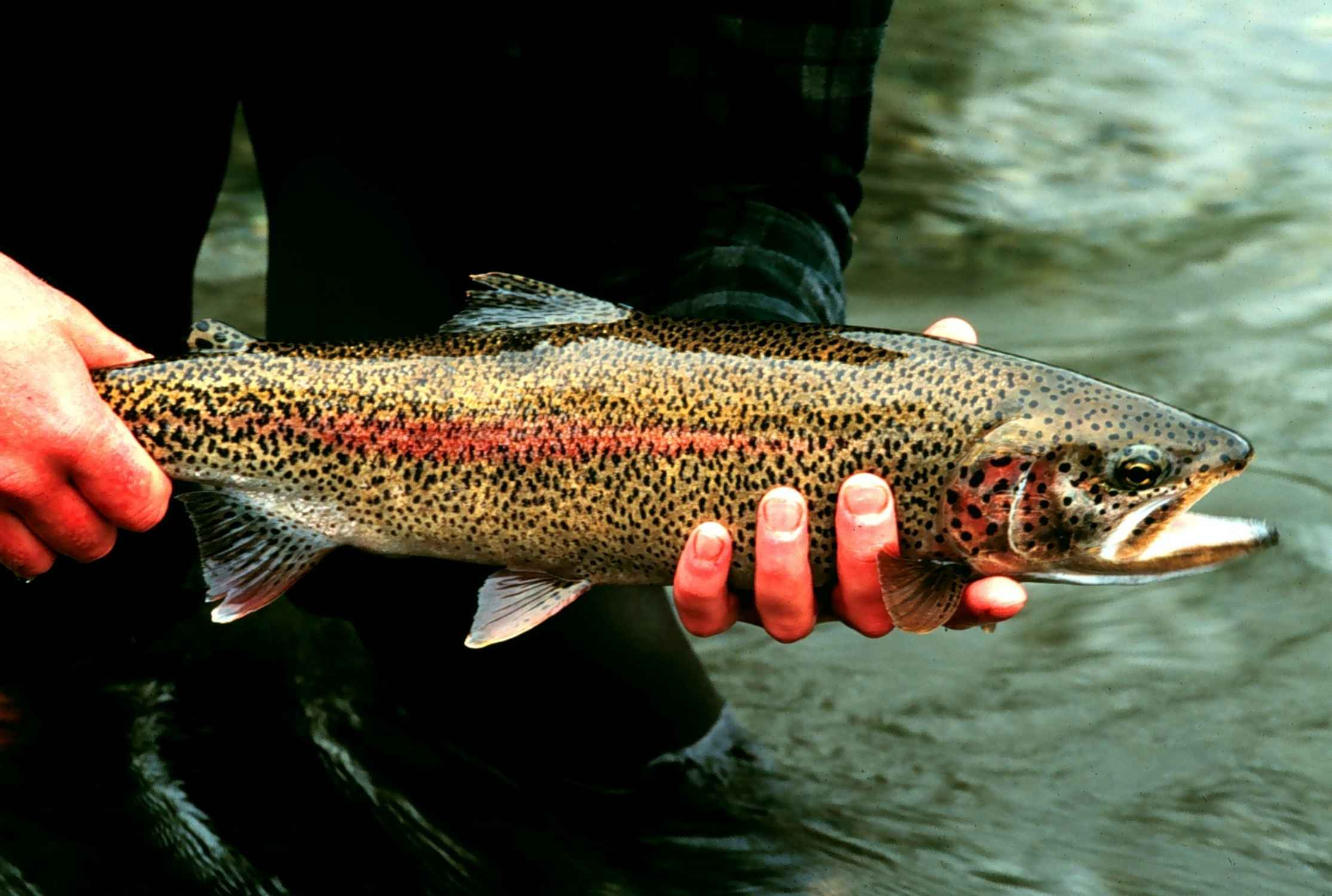 Fall Appalachian Trout: Browns, Brookies, and Rainbows
