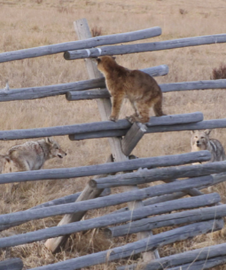 Wildlife Photos: Mountain Lion Cubs Surrounded by Pack of Coyotes