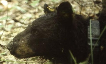 World's Oldest Wild Black Bear Dies in Minnesota at 39