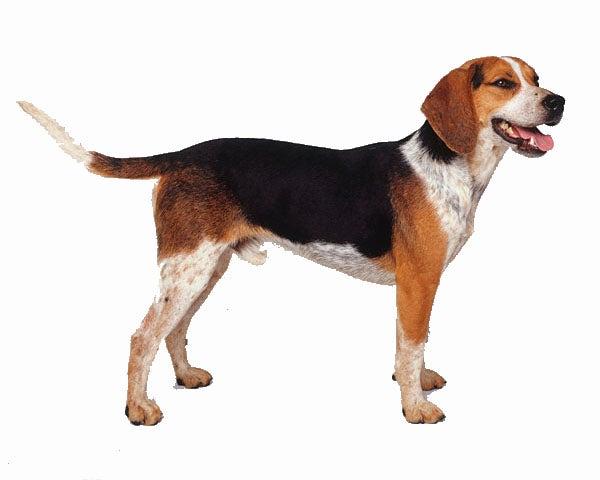 """""""beagle"""
