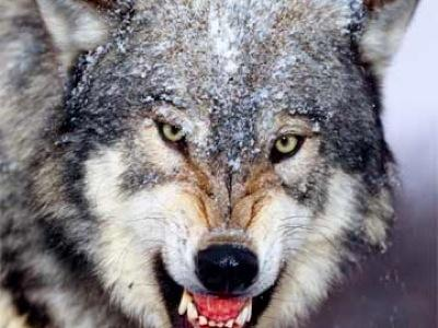 """""""Wolf"""